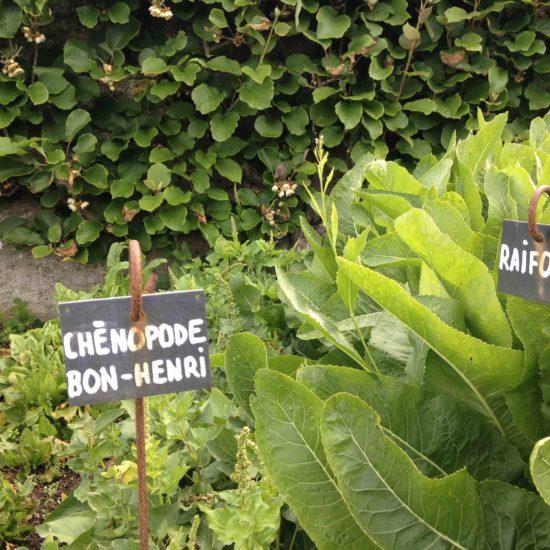 Photos du jardin potager de La Baronnière : chénopode bon-Henri et raifort