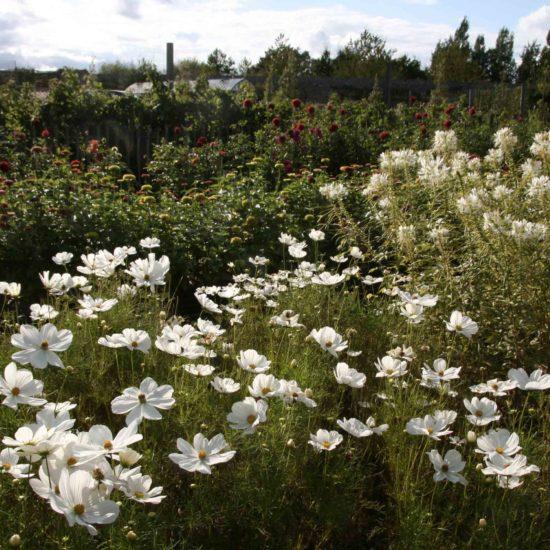 Photos du jardin potager de La Baronnière : cosmos blancs