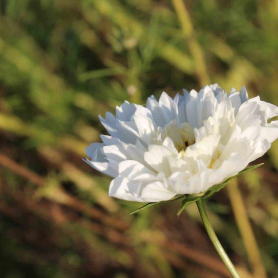 Photos du jardin potager de La Baronnière : cosmos dentelle blanc