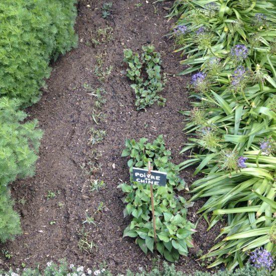 Photos du jardin potager de La Baronnière : poivre de Chine et scille du Pérou