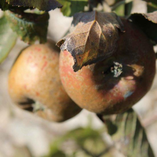 Photos du jardin potager de La Baronnière : pommes et pommiers