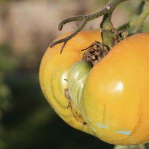Une tomate du jardin potager de La Baronnière : découvrez les lieux remarquables et l'histoire du château de La Baronnière.