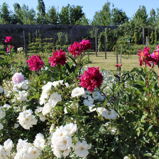 Photos du jardin potager de La Baronnière : rose opalia blanches et pivoines roses