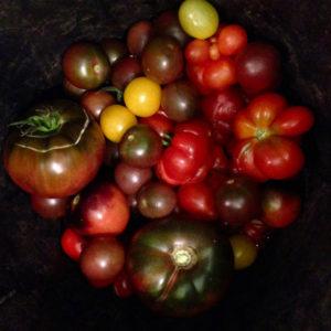 La récolte de tomates à La Baronnière en fin de saison