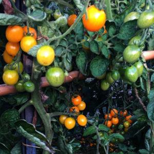 Les tomates de La Baronnière