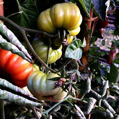 Une grappe de tomates du jardin potager de La Baronnière