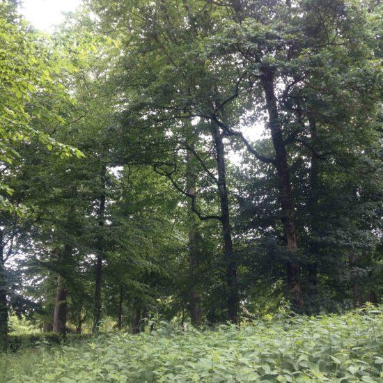 Photos du parc du château de La Baronnière : de très beaux arbres subsistent, comme les platanes, les chênes, les pins Laricio ou noirs d'Autriche ou les séquoias