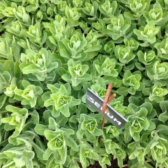 Photos du jardin potager de La Baronnière : sedum