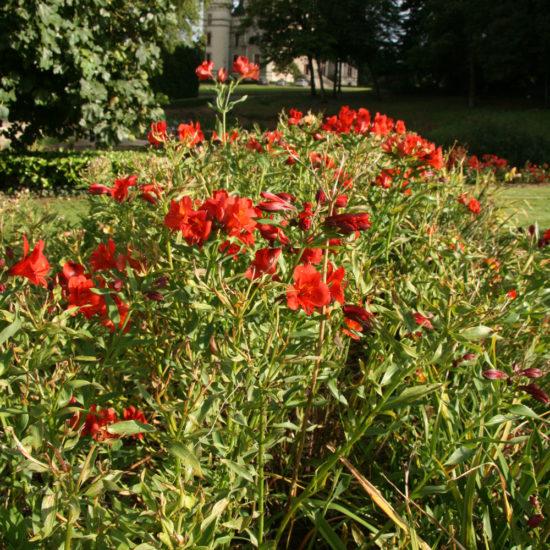 Photos du jardin potager de La Baronnière : alstroemerias rouge