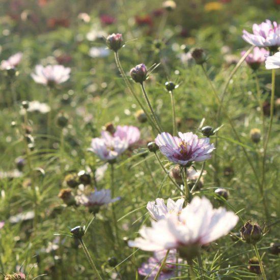 Photos du jardin potager de La Baronnière : cosmos panachés rose pâle et blancs