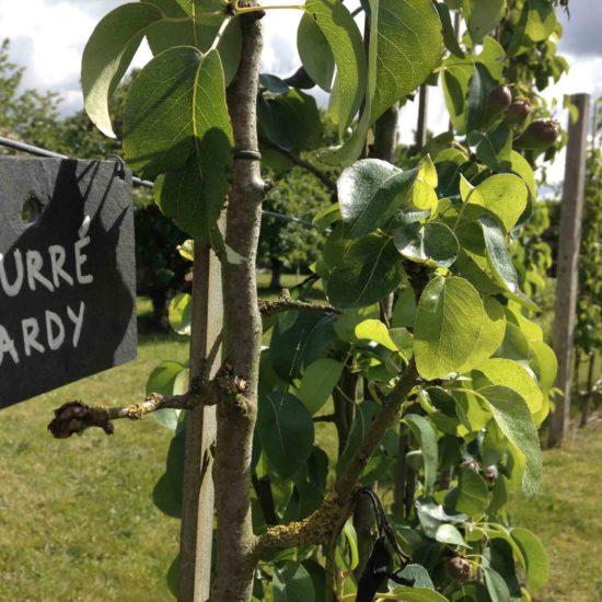 Photos du jardin potager de La Baronnière : le poirier Beurré Hardy