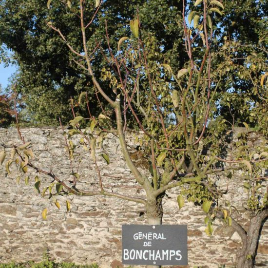 Photos du jardin potager de La Baronnière : poirier général de Bonchamps