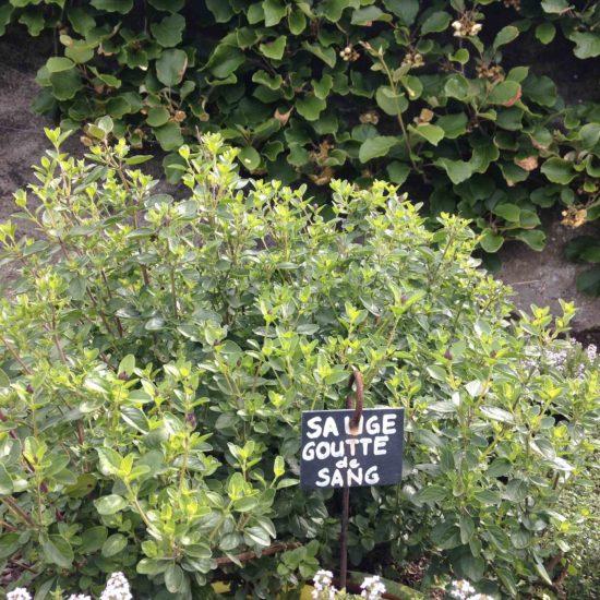 Photos du jardin potager de La Baronnière : sauge goutte de sang