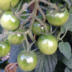 Les tomates vertes de La Baronnière