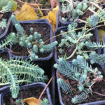 Orpin des rochers lors de la bourse des plantes à La Baronnière