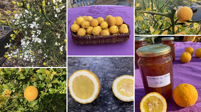 Citronnier du nord et confiture de Citron du nord